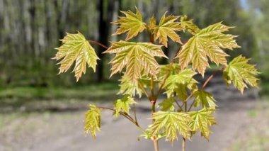 Norway maple arboret, No.2 — Stock Video