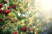 Rowan tree with red berry — Stock Photo