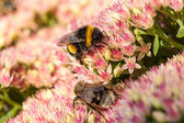 Bees on flowers — Stock Photo