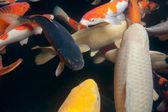 Different colorful fishes swimming in aquarium — Stock Photo