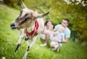 Happy family with goat — Stock Photo