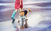 Woman in blue wellies walk her beagle dog — Stock Photo
