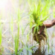 Farmer working in rice field — Stock Photo #70412921