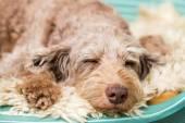 Pies śpi — Zdjęcie stockowe