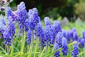 Grape Hyacinth, Muscari armeniacum — Stock Photo