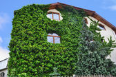 House wall overgrown with ivy — Stock Photo