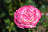 Pink magenta rose in the garden — Stock Photo