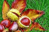 Chestnuts in the grass — Stock Photo