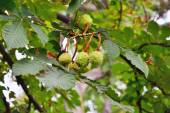Horse chestnut tree branch  with conkers. — Stock Photo