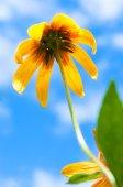 Blooming Rudbeckia Black-eyed Susan flower — Stock Photo