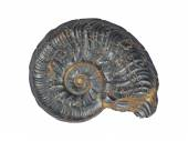 Ammonit Fossil — Stock Photo
