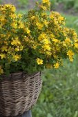 The herb St. John's wort in a basket on a wooden bench. — Stock fotografie