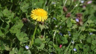 Dandelion flower upon green grass at spring — Stock Video