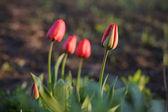 Tulipan w polu — Zdjęcie stockowe