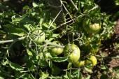 Fresh green tomatoes hanging on tomato-bushes — Stock Photo