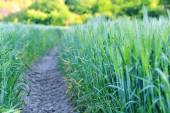 A narrow path along the green corn field — Stock Photo