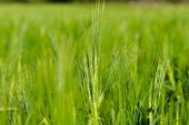 Endless field of newly grown wheat — Stock Photo