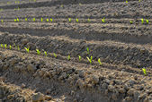 Tiny corn sprouts lined in long rows in the garden — Stock Photo