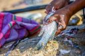 Closeup to fisher's hands cleaning the fresh fish — Stock Photo