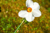 White narcissus in nature — Stock Photo
