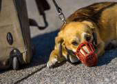 A sad dog with a red muzzle — Stock Photo