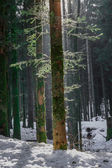 Winter landscape of Forest in Vosges mountain, France — Stock Photo