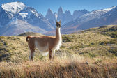 Guanaco in National Park Torres del Paine, Patagonia, Chile — Stock Photo