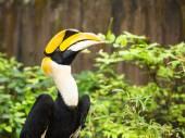 Great Hornbill (Buceros bicornis) — Stock Photo