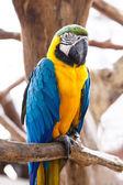 Blue-and-Yellow Macaw (Ara ararauna) — Stock Photo