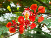 Royal Poinciana or Flamboyant (Delonix regia) — Stock Photo