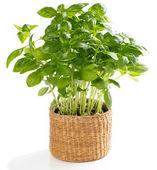 Fresh herb basil — Stock Photo