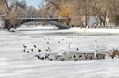 Birds swim in a pond in winter city park — Stock Photo