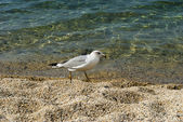 Gull on the shore of the Sea — Stock Photo