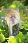 Monkey going to attack — Stockfoto