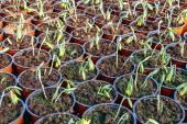 Flower seedlings in pots — Stockfoto