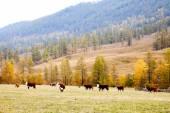 Cows graze in the autumn in Altai — Stockfoto