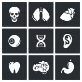 Internal organs icons — Stock Vector