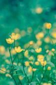 Yellow flowers Ranunculus repens — Stock Photo