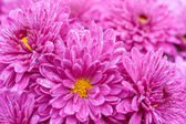 Flowers purple  — Stock Photo