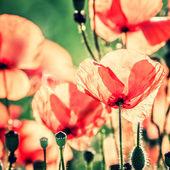 Kırmızı gelincik — Stok fotoğraf