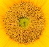 Gele zonnebloem — Stockfoto