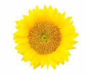 Yellow sunflower blossom — Foto Stock