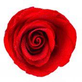 ο κόκκινος αυξήθηκε λουλούδι — Φωτογραφία Αρχείου