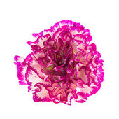 Fiore di garofano rosa — Foto Stock
