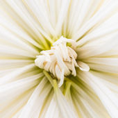 Chrysanthemum flower texture — 图库照片