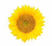 Yellow sunflower blossom — Stock Photo