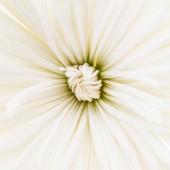 White flower background — Stock Photo