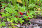 Wild strawberry in a summer forest — Stock Photo