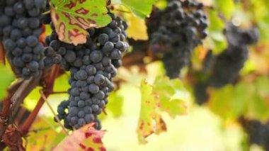 Wine harvest — Stock Video