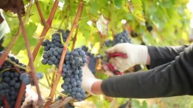 Wine harvest — Stock Video